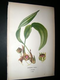 Step 1897 Antique Botanical Print. Aspidistra Lurida